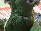出售人工繁殖迷你金剛鸚鵡 灰鸚鵡 葵花鸚鵡 亞馬遜鸚鵡
