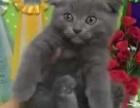 山东哪里出售蓝猫 山东蓝猫多少钱 山东蓝猫哪家好