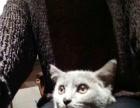 蓝猫出、可小刀