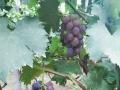 新鲜的葡萄,一起来采摘吧!