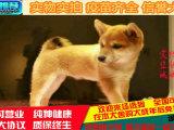 狗狗惹人爱 柴犬多少钱 犬舍专业繁殖出售