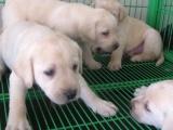 自家大狗生的一窝拉布拉多犬免费找人领养,公母都有活