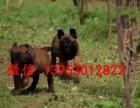 精品黑红马犬,血统纯正,价格优惠,疫苗齐全