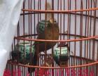 贵州凯里原毛半熟鸟画眉鸟多少钱一只