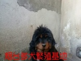 烟台基地出售黑红藏獒幼犬有视频