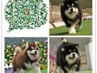 重庆出售纯种阿拉斯加犬 血统纯种 可实地挑选
