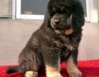 北京本地犬舍直销纯种,藏獒,质保三个月