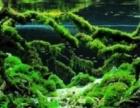 出售水草黑木撅,长叶细叶铁杜鹃根,鹿角铁各种大型造景用青龙石