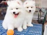 上门便宜多 优惠多 包疫苗赠送用品 纯种-萨摩耶犬
