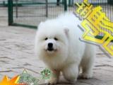雪域传奇——澳版白魔法血系萨摩耶幼犬—— 雪白毛量上