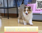 哪里出售喜乐蒂犬 纯种喜乐蒂多少钱
