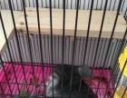 卖四个月带丝绒黑和标灰血统的龙猫妹妹,自家养的龙猫妹妹