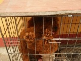 13个月的泰迪犬(公)