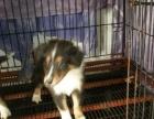 名犬基地出售苏格兰牧羊犬 欢迎上门挑选