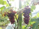 西彭维宇葡萄熟了,欢迎采摘