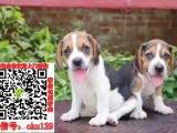 芜湖比格宠物狗出售转让 比格狗舍多少钱 买卖比格幼犬
