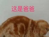 自家繁殖纯种加菲猫,寻找富养家庭