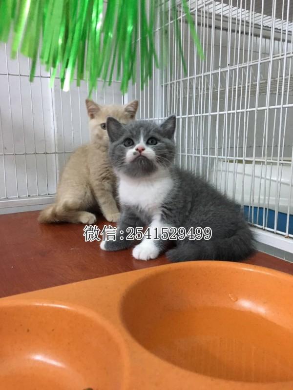 漳州纯种蓝猫一般多少钱可以买到漳州蓝猫多少钱一只