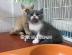 朝阳哪里有宠物店朝阳哪里卖蓝猫纯种蓝猫最低多少钱一只
