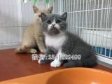 嘉兴哪里买蓝猫最好 嘉兴哪里的宠物店出售健康的蓝猫