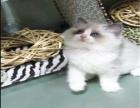 傲娇萌猫纯种布偶猫美短渐层蓝白折耳宠物猫活体幼体