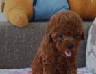 纯种茶杯玩具泰迪幼犬出售 泰迪犬宠物狗品相好