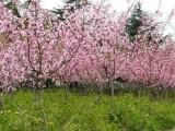 淄博奥景园艺有限公司常年供应垂丝海棠