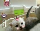 贝斯特猫舍可爱呆萌英国短毛猫出售