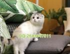 重庆哪里能买到正宗的折耳猫 重庆纯种折耳猫多少钱