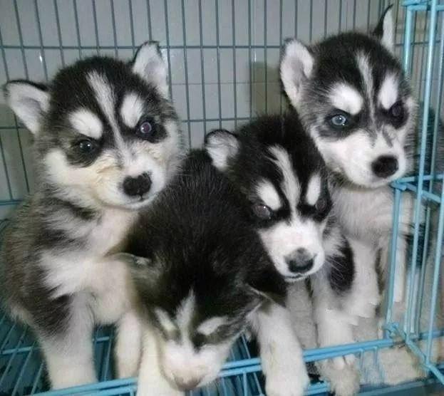 哈士奇幼犬 纯种哈士奇 保健康 全国包邮