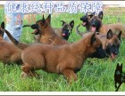 第一次养马犬怎么驯养,简单快速训练小马犬,马犬多少钱
