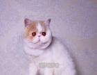 加菲猫宠物纯种加菲猫纯种幼猫加菲猫宠物猫活体