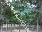 苗木基地出售各种绿化苗木