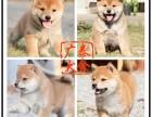 广泰犬舍珠海地区 出售精品柴犬 可签协议