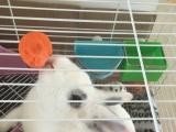忍痛割爱转让小白兔