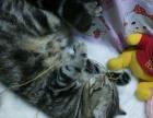 美国短毛猫棕虎斑猫咪煎堆仔dd