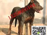 三个月的苏联红犬小狗多少钱成年苏联红犬的价格图片