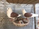 无锡观赏鸽销售 摩登那鸽 仙女鸽 圆环鸽