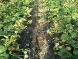 销售奶油草莓苗出售 奶油草莓苗 品种齐全