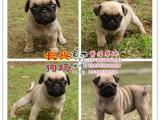 世界名犬繁殖基地专业出售三十多个品种的宠物狗