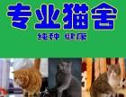 广州荔湾区纯种英国短毛猫 加菲猫出售