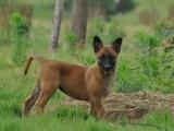 比利时马犬,一度成为最受城市人口家养的宠儿