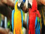 巴彦淖尔本地出售观赏鸟专业繁殖