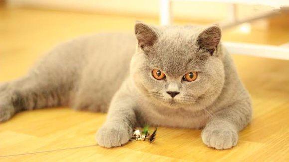 石家庄哪里有蓝猫卖 蠢萌型 健康无廯送货上门 支持空运