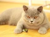 兰州哪里有蓝猫卖 蠢萌型 健康无廯送货上门 支持空运