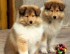 哪里买狗 纯种苏牧多少钱 哪里买纯种苏牧 汪泰狗场