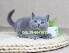 青岛猫舍 青岛哪里有卖蓝猫 青岛蓝猫多少钱