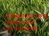 重庆川草阁药材基地推广种植新模式:你种植+我销售 成功