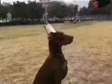 专业繁殖高品质杜宾犬 出售双血统杜宾幼崽