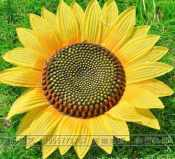 花儿朵朵向太阳向日葵 仿真向日葵道具 欧式绢花仿真花 舞蹈服